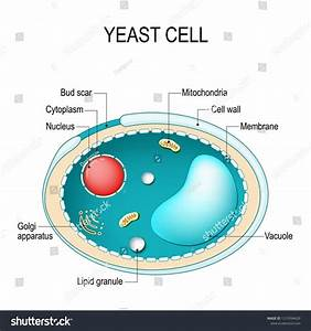 Cross Section Of A Yeast Cell  Structure Of Fungal Cell