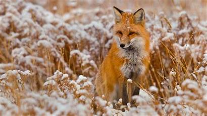 Winter Animals Foxes Desktop Backgrounds Wallpapers