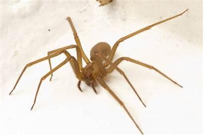 Spider Recluse Spiders Brown Help Found Gathering
