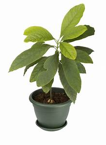 How To Grow Avocado Indoors Tips On Caring For Avocados