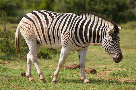 burchells zebra weneedfun