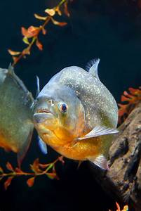 National Aquarium | Watch: Red-bellied Piranha Feeding