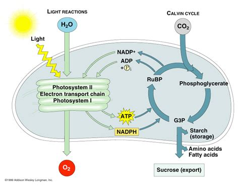Where In The Chloroplast Do The Light Reactions Occur by Photosynthesis Photosynthesis Notes