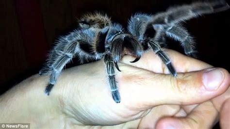 do tarantulas shed their fangs kayonna cole allows pet tarantula to bite daily