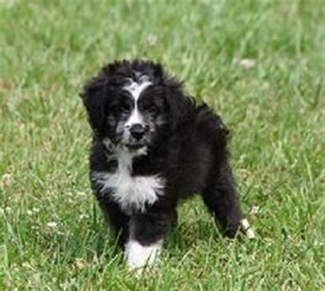 do miniature aussiedoodle shed 17 best images about aussiedoodles on poodles