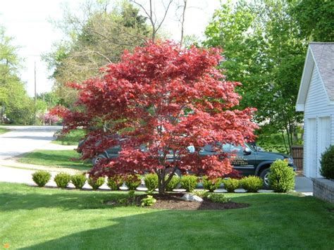 planting japanese maple trees bloodgood japanese maple trees for sale the planting tree