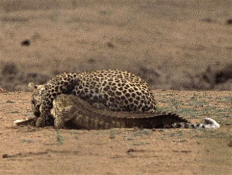 Wanita Menyusui Binatang Youtube Gambar Photo Collection Mewarnai Gambar Cheetah Harimau Di
