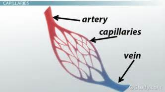blood capillary function human anatomy lesson