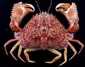573 Best Images About Braychura  True Crabs  On Pinterest