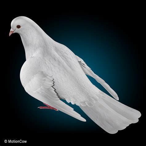 dove folded wings motioncow