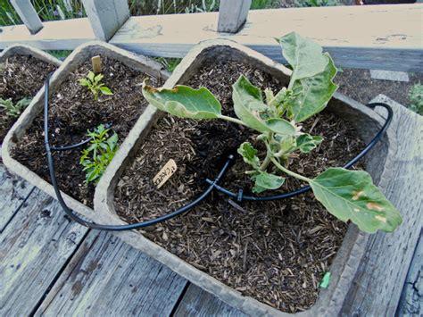 planter pasteque en pot arrosage des l 233 gumes ayant de gros besoins en eau