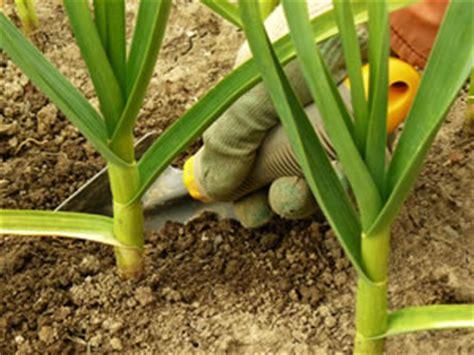 Knoblauch Pflanzen  Zeitpunkt & Anbautipps