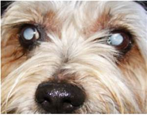 CATARACTS - Facts and Fallacies - Spoodle Dog Website