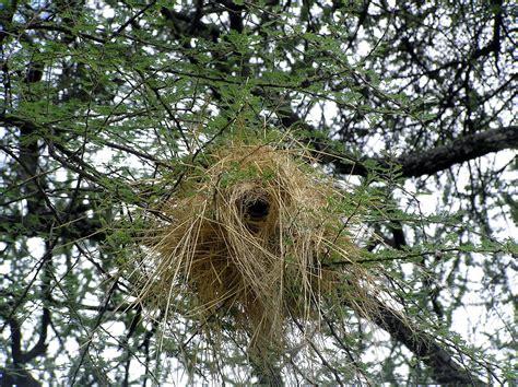 weaver nest rwanda on the wing the basket weavers