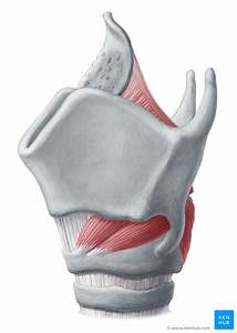 Muscles Of The Larynx