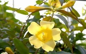 Jasmin Pflanze Winterhart : gelber jasmin pflanze gelsemium sempervirens jasmin jaborosa jojoba pflanzen saatgut ~ Frokenaadalensverden.com Haus und Dekorationen
