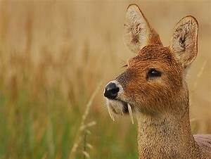 5 Interesting Facts About Chinese Water Deer | Hayden's ...
