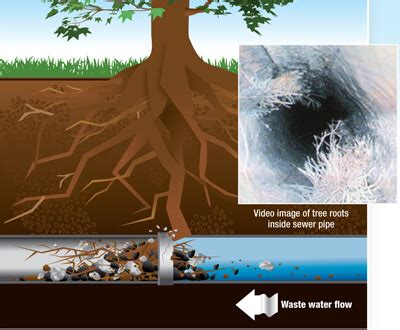 tree roots   septic system saviour septic