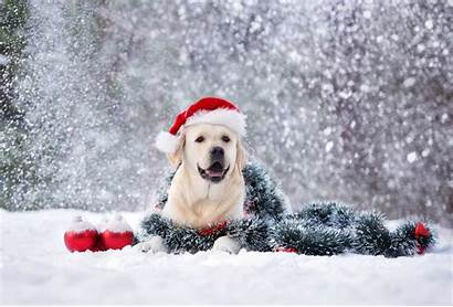 Dogs Puppies Snow Winter Holiday Lab Yellow