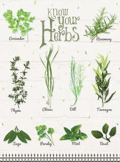 Rosemary Herb Diagram by Herb Drawings Search Apothecary Herbs