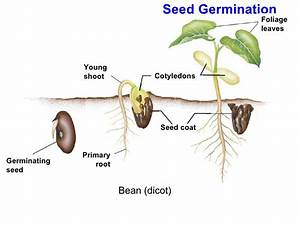 Chapter 24 lecture- Seeds