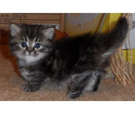 """Napoleon Kittens  Napoleon """" """"munchkin"""" Kittens Price"""