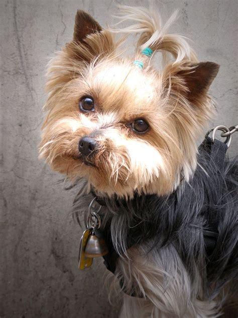 File Ee  Yorkshire Terrier Ee    Jpg Wikimedia Commons
