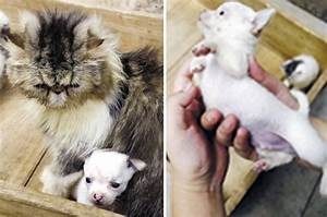 Cat gives birth to dog: Owner baffled after chihuahua ...