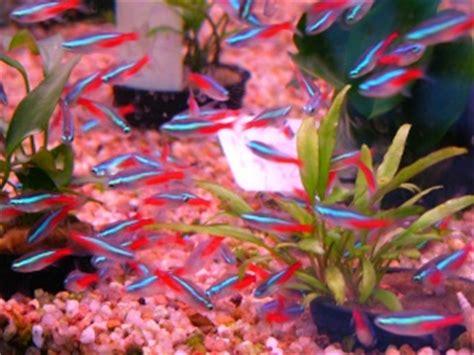le tour de l aquariophilie les poissons le n 233 on bleu paracheirodon innesi