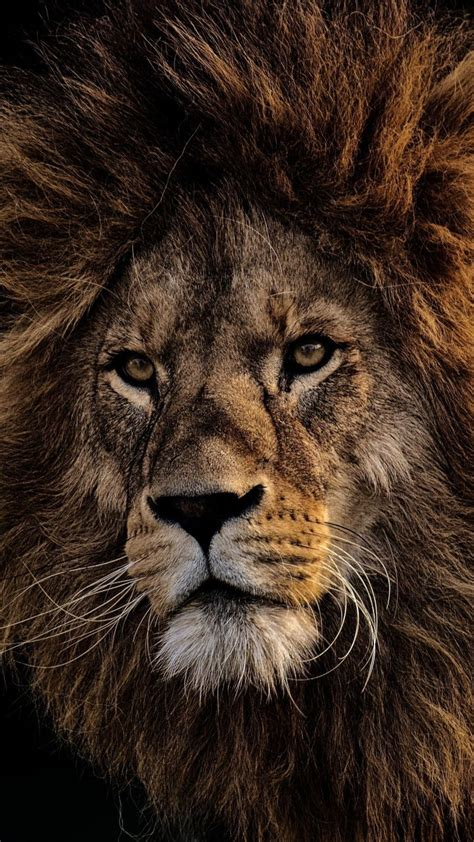 mighty king lion fur muzzle  wallpaper