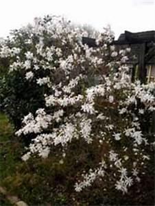 Magnolien Vermehren Durch Stecklinge : magnolienbaum bl ht nicht magnolien vermehren ~ Lizthompson.info Haus und Dekorationen