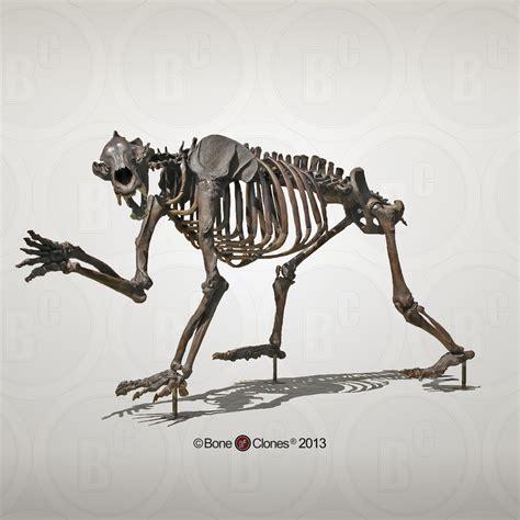 Short-faced Bear Articulated Quadruped Skeleton - Bone ...