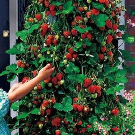 100pcs strawberry climbing strawberry fruit plant