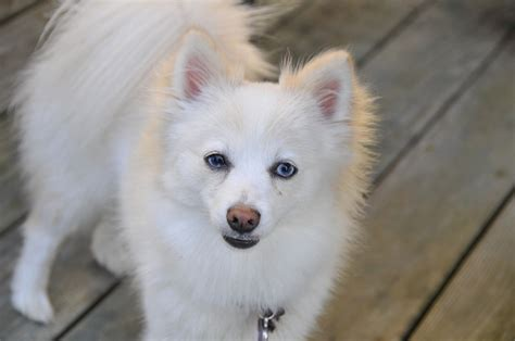 favorite small white dog breeds  pictures