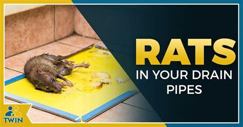 rats    toilet climb   drain