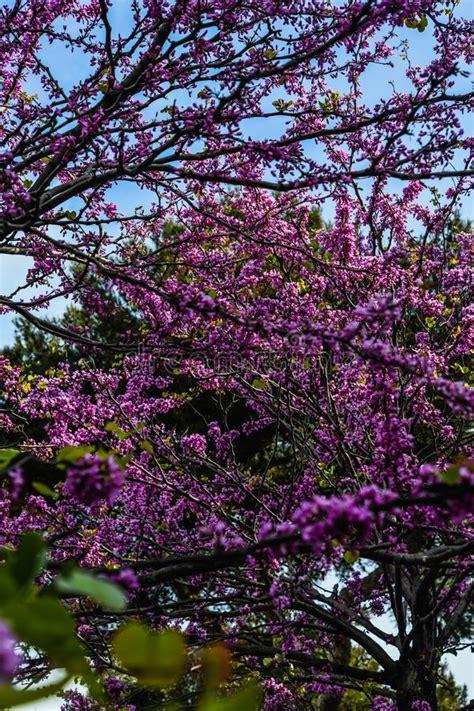 Blooming Cherry Blossom (sakura) Stock Photo Image of