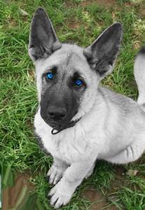 white german shepherd puppies with blue eyes for sale ...