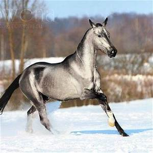The horse is an Akhal Teke, a breed originating in Russia ...