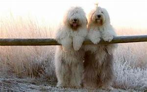 is the old english sheepdog the breed for you