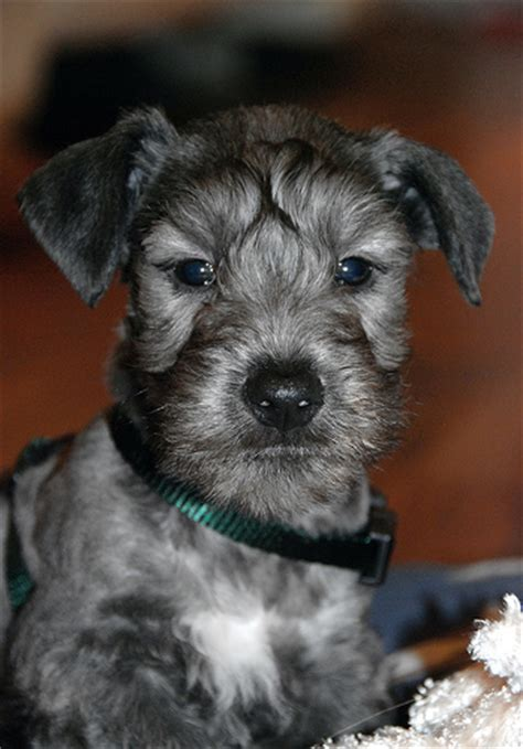 cesky terrier small breed dog breeds of small dogs