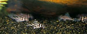 Hypancistrus Zebra  U2013 Zebra Plec  L046  L098  U2014 Seriously Fish