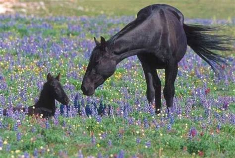 wild horses running mustang