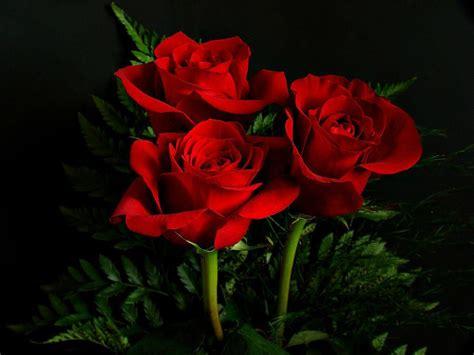 Check spelling or type a new query. Menakjubkan 10+ Gambar Bunga Mawar Merah Terindah - Gambar Bunga Indah