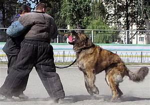Is the Caucasian Ovcharka dog easy to train?