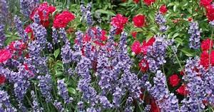 Rosenbeet Mit Stauden : mein rosenbeet welche begleitpflanzen passen zu rosen ~ Frokenaadalensverden.com Haus und Dekorationen