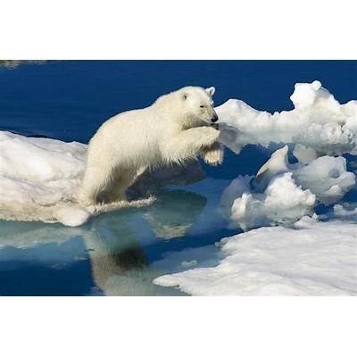 A Polar Bear Ursus Maritimus Leaping Photograph by Keenpress