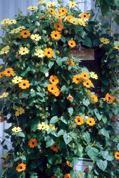 zone 10 shade plants black eyed susan vine a perennial in usda zones 10 and 11 it can grow in full sun or partial