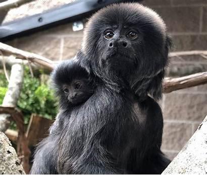 Monkey Zoo Park Born Buttonwood Southcoasttoday Goeldi