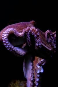 Beautiful Octopus Underwater