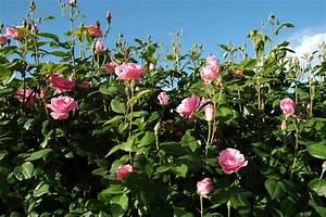 Welche Pflanzen Eignen Sich Als Sichtschutz : rosenhecke sorten pflege und mehr ~ Eleganceandgraceweddings.com Haus und Dekorationen